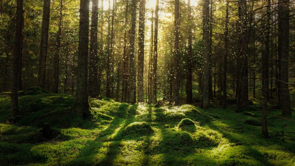 Skoglandskap i kveldssol.