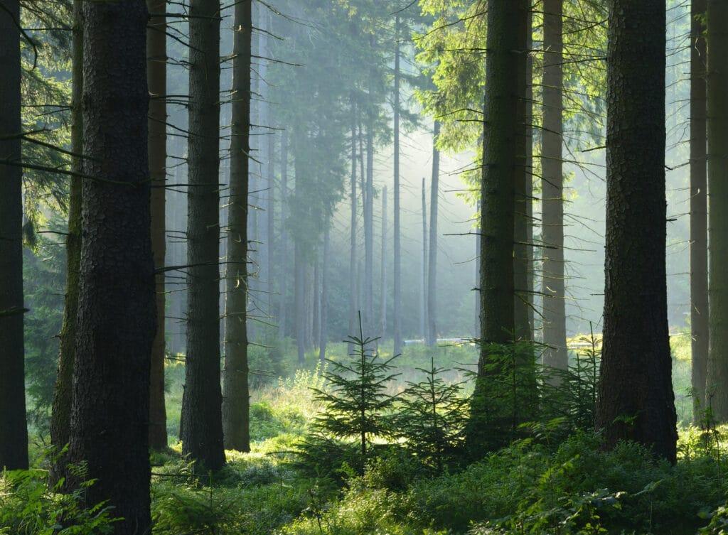 Furuskog i solskinn.